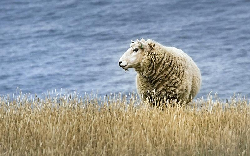 Овца на берегу моря