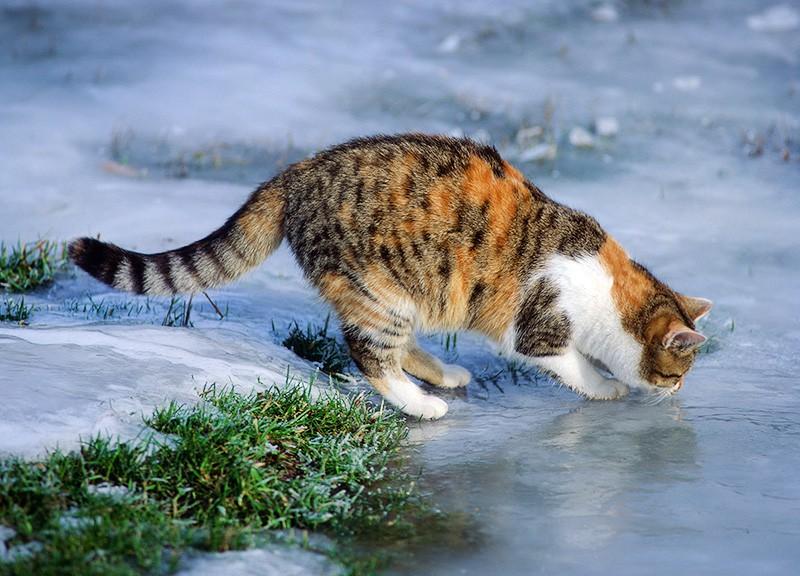 Кот на льду