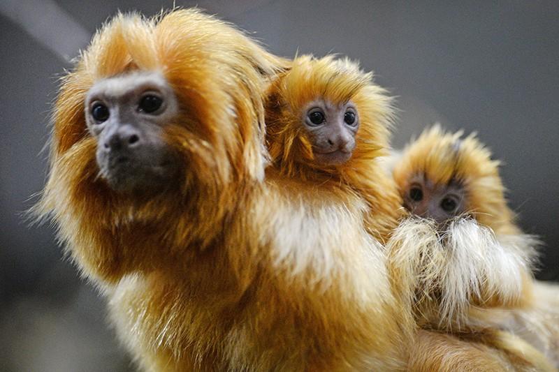Самец золотистого львиного тамарина с недавно родившимися детенышами