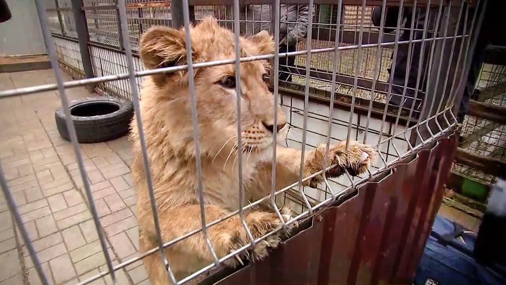 Львица в вольере