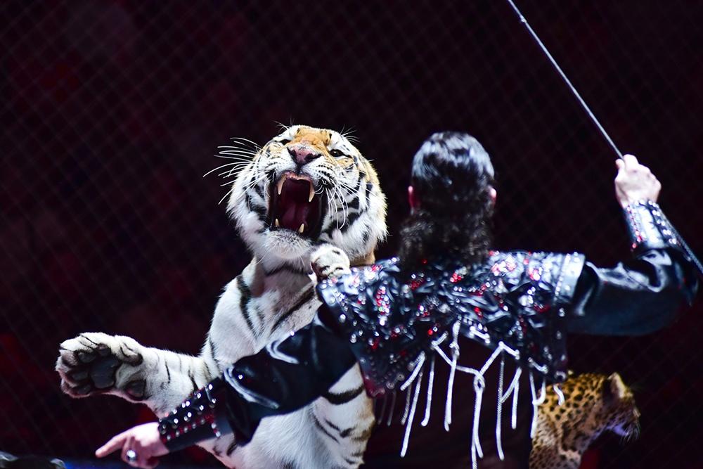 Тигр и дрессировщик в цирке