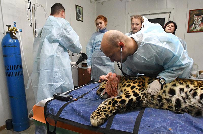 Ветеринарный врач осматривает дальневосточного леопарда