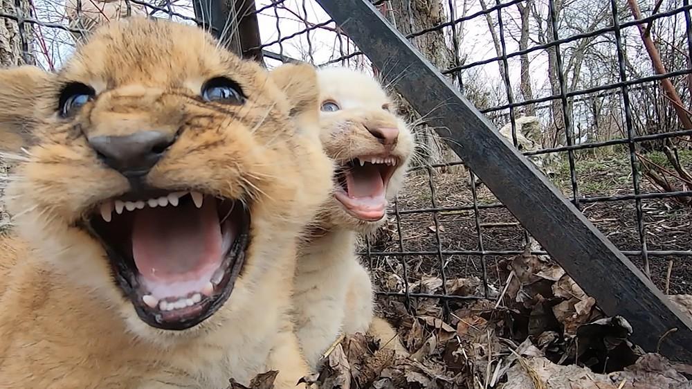 Львята в вольере