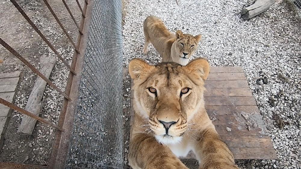 Львицы в вольере