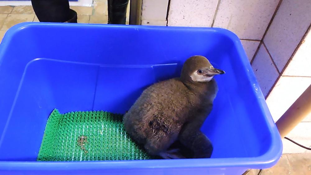 В Московском зоопарке рассказали, какая судьба ждет новорожденных пингвинов