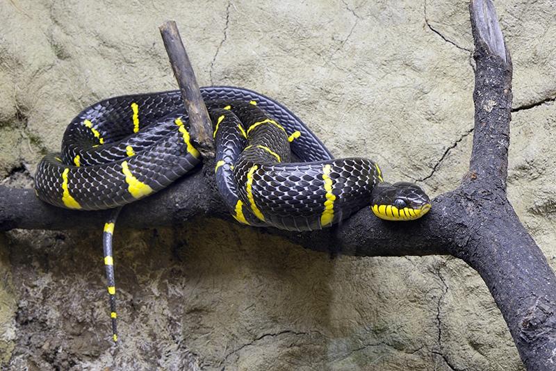 Мангровая змея