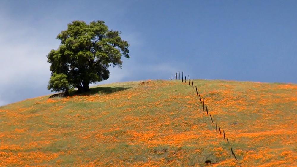 Цветене мака в Калифорнии