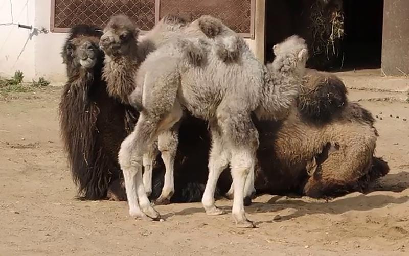 Детеныши двугорбых верблюдов Буря и Шторм в одном из вольеров в Московском зоопарке