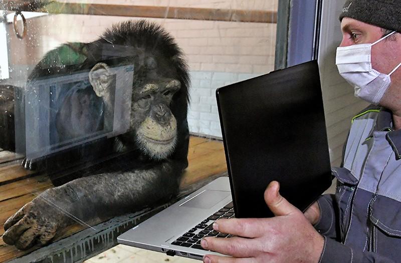 Зоолог показывает шимпанзе фотографии на ноутбуке