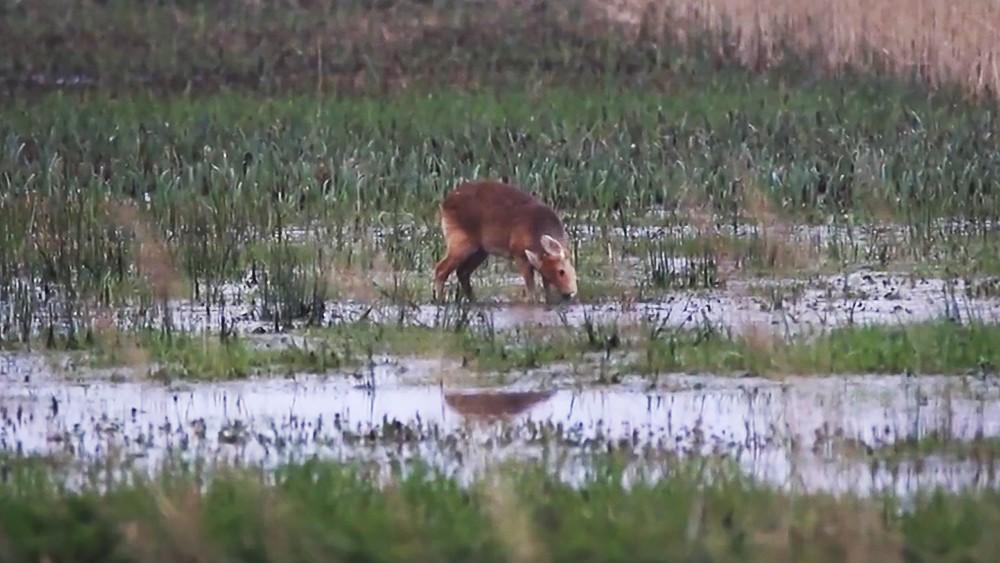 Водяной  олень