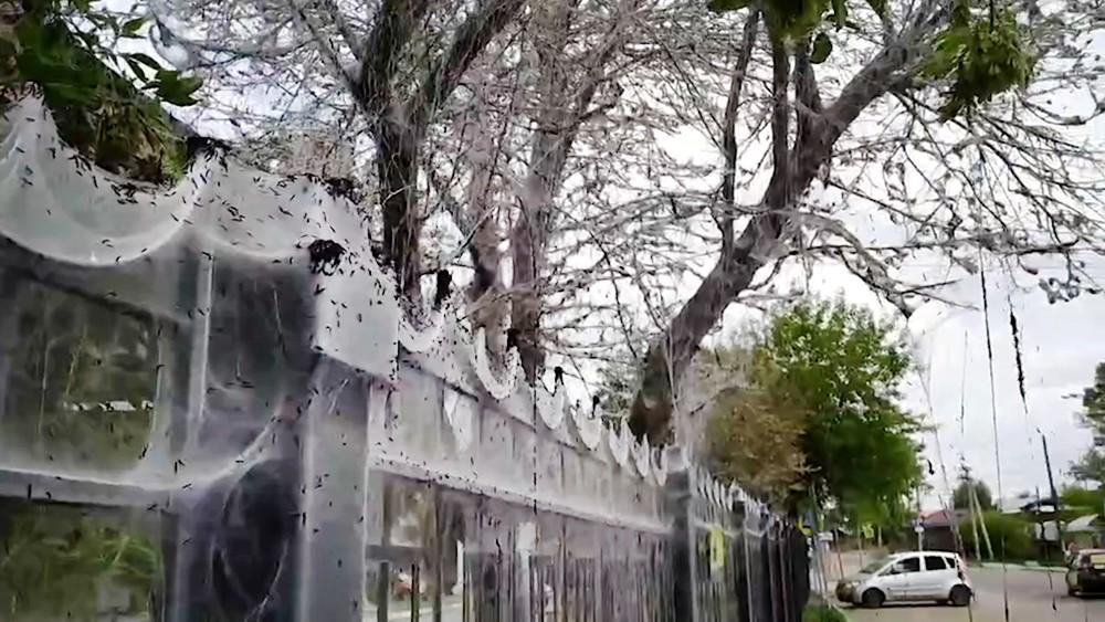 Деревья пораженные горностаевой молью