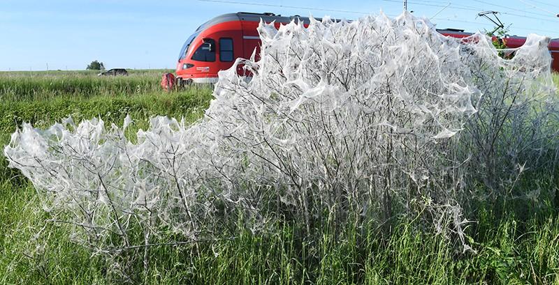 Растения пораженные горностаевой молью