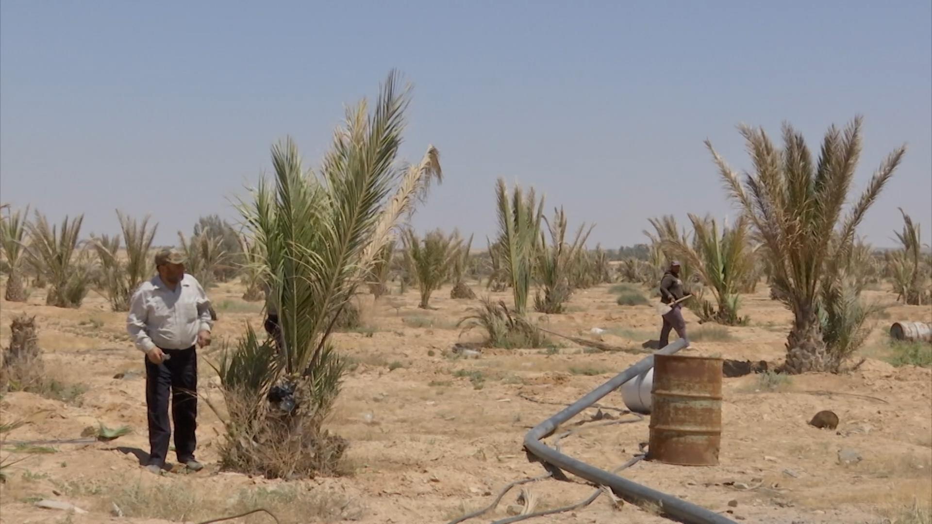 Финиковая плантация в Сирии