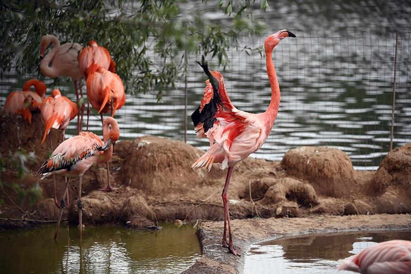 Розовые фламинго в вольере Московского зоопарка