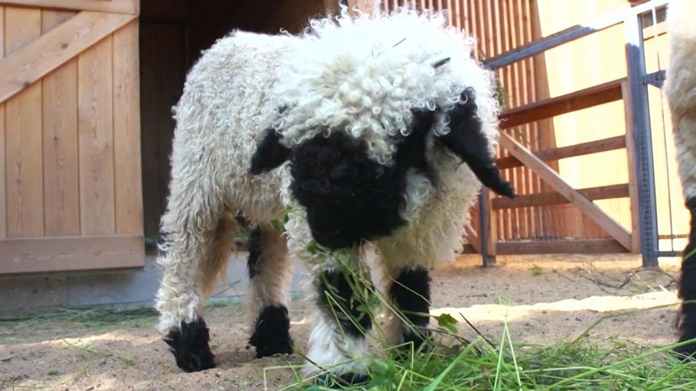 Валлийская овца
