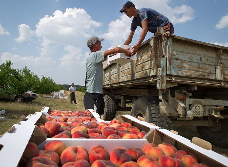 Сбор урожая персиков в Крыму