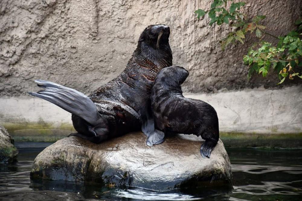 Морские котики в зоопарке