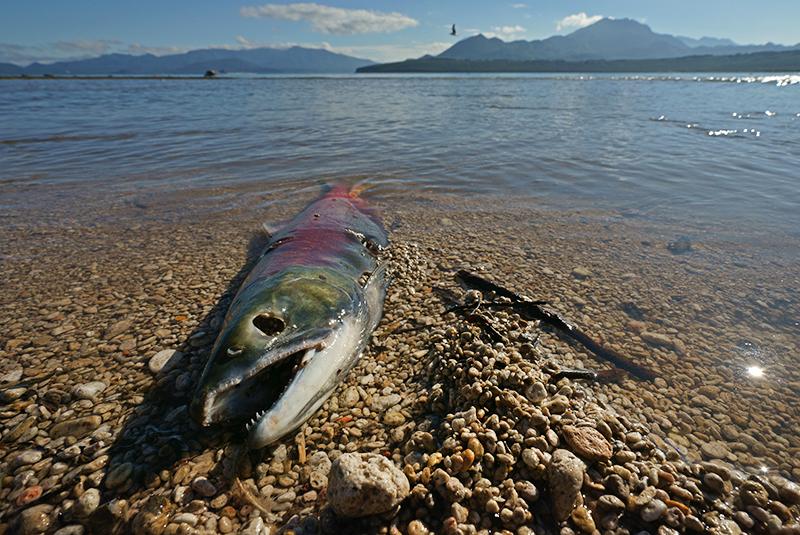 Мертвая рыба на берегу