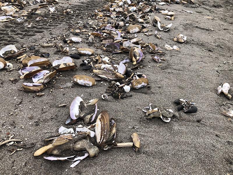 Выброс мертвых морских животных на Камчатке