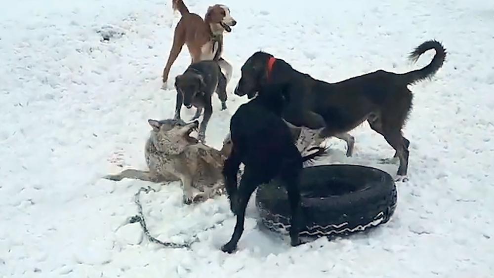 Притравка охотничьих собак на волка