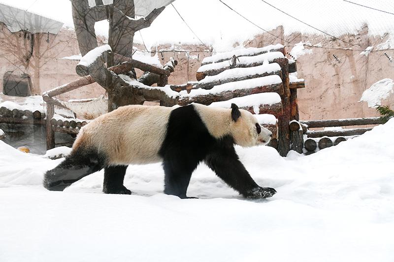 Панда в вольере