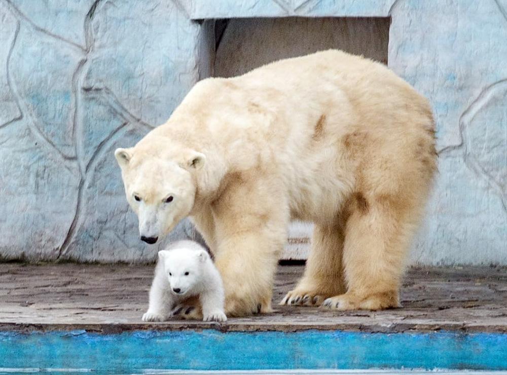 Белые медведи в зоопарке