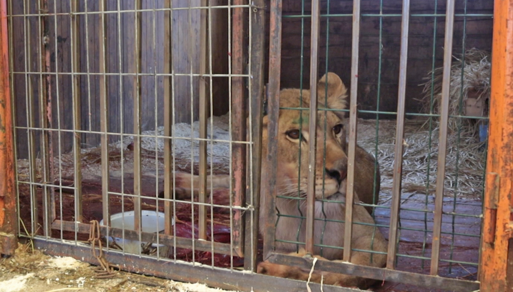 Львица Сури