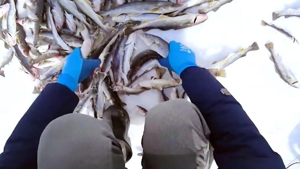 Сбор оставленной рыбаками наваги