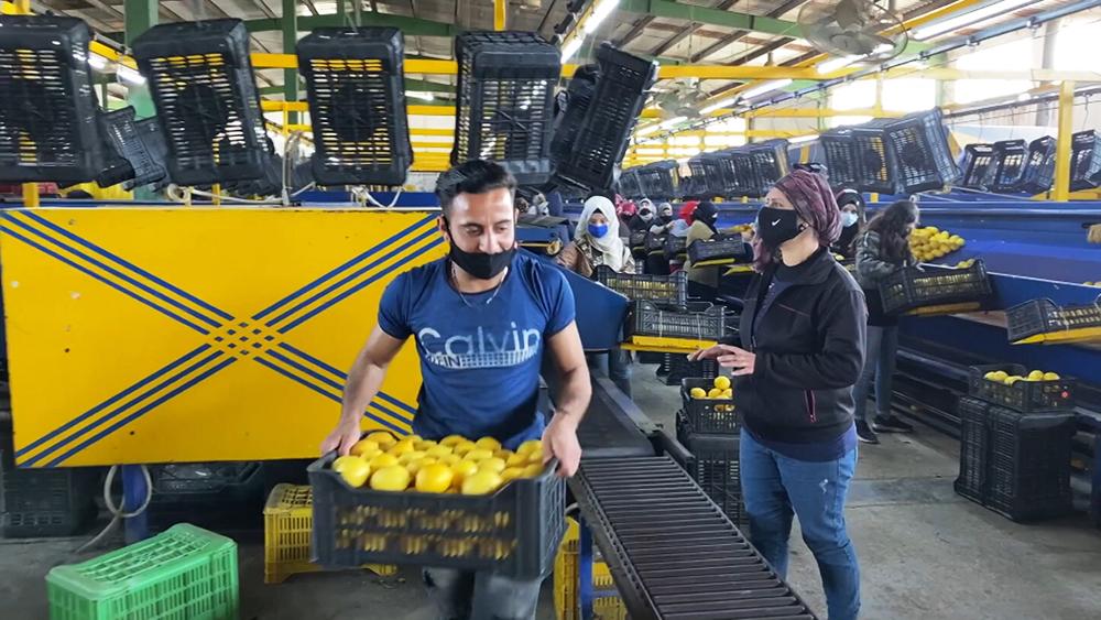 Фабрика цитрусовых в Сирии