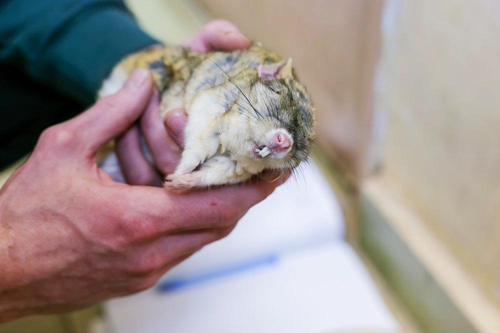 Сотрудники Московского зоопарка вывели тушканчиков из зимней спячки