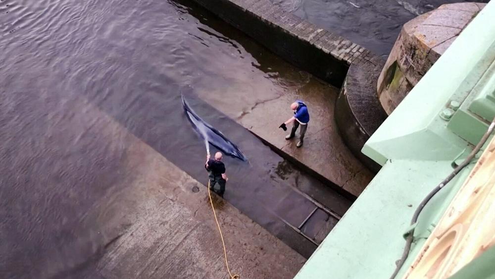 Застрявший на мели в Темзе кит