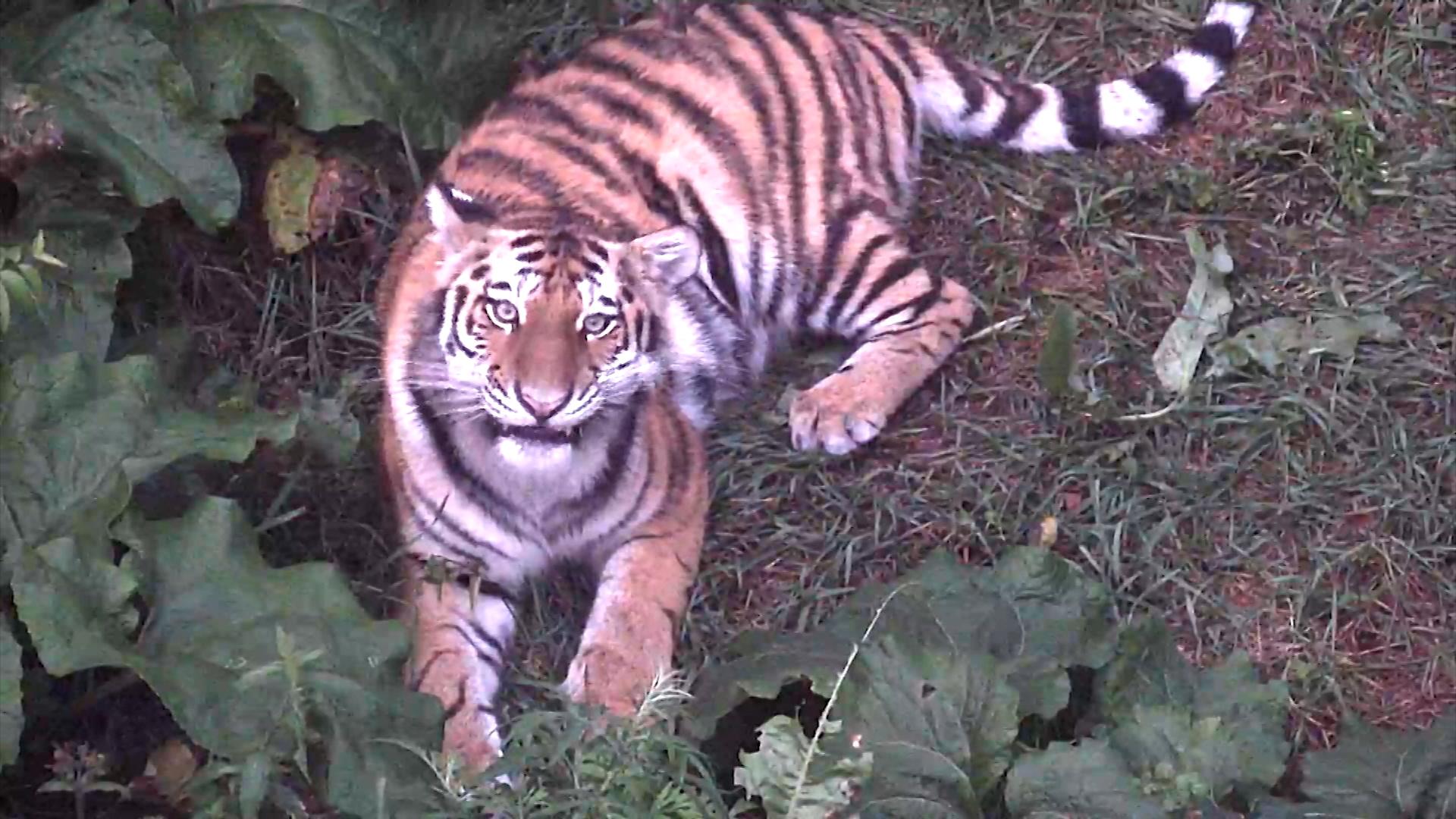 Тигрица Санда