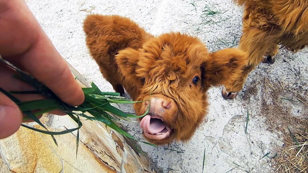 Телёнок шотландской коровы
