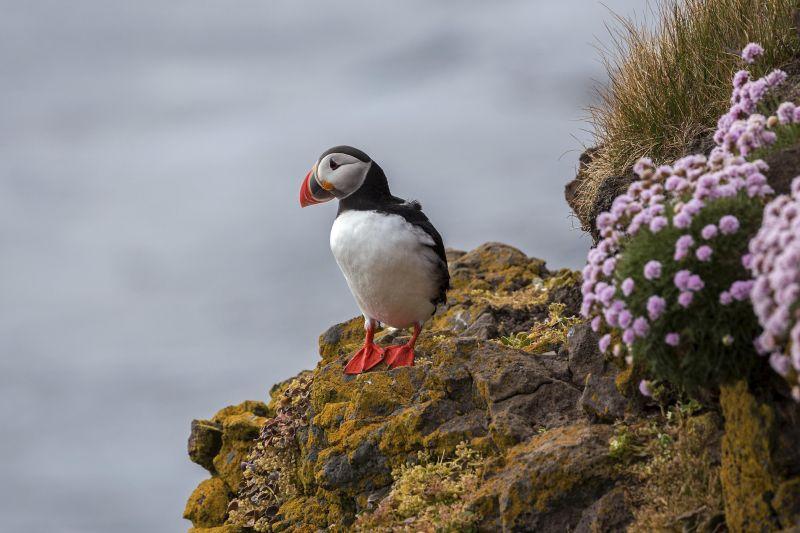 Птица тупик, один из символов Исландии