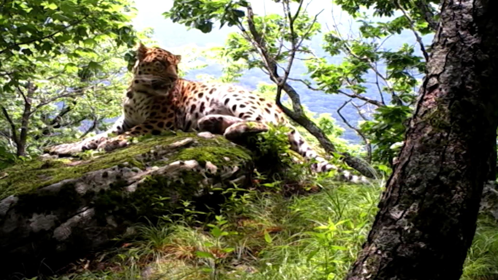 Леопарды в Приморье
