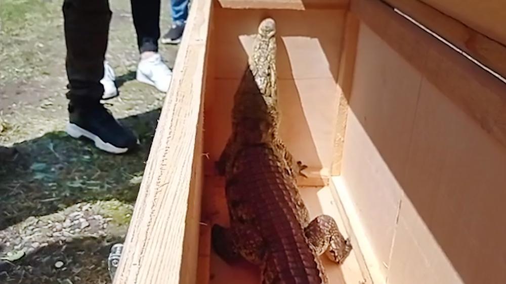 Крокодил в ящике