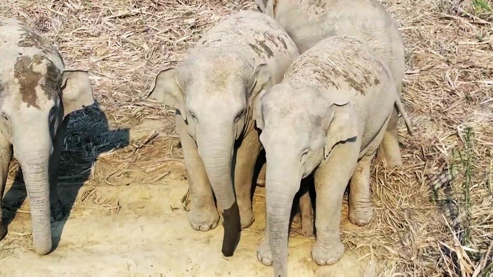 Миграция слонов в Китае