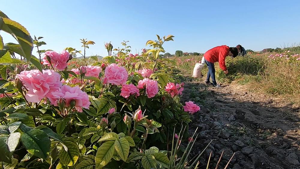 Сбор роз в Крыму