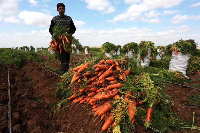 Уборка моркови в частном крестьянско-фермерском хозяйстве