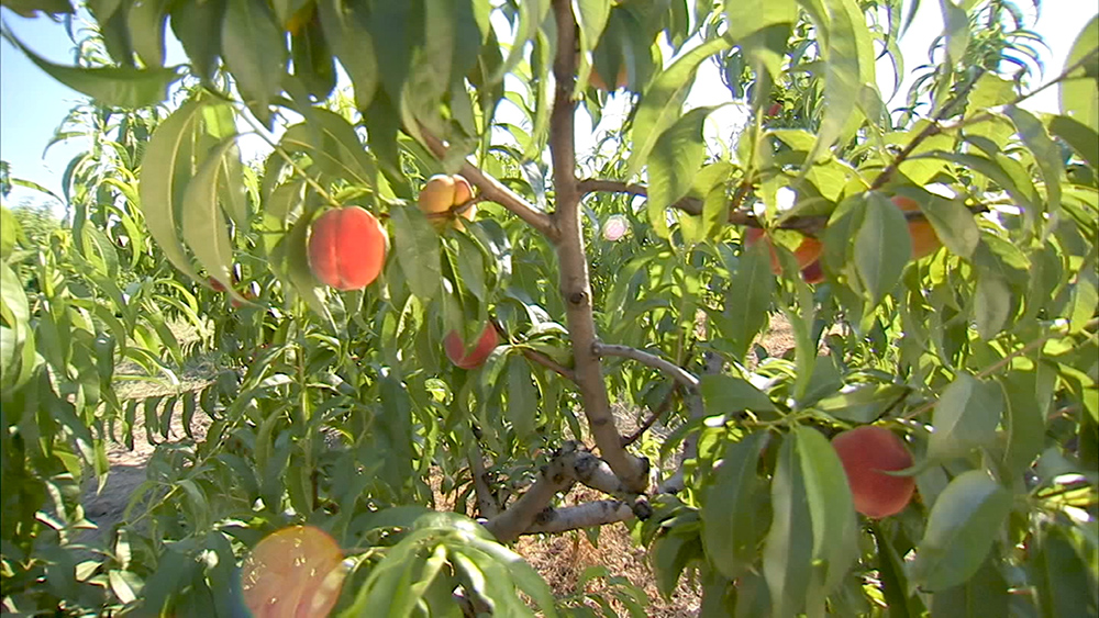 Сбор персиков
