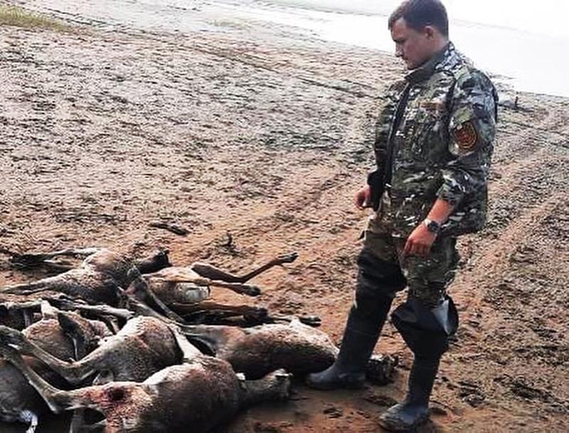 В Красноярском крае нашли 56 погибших оленей