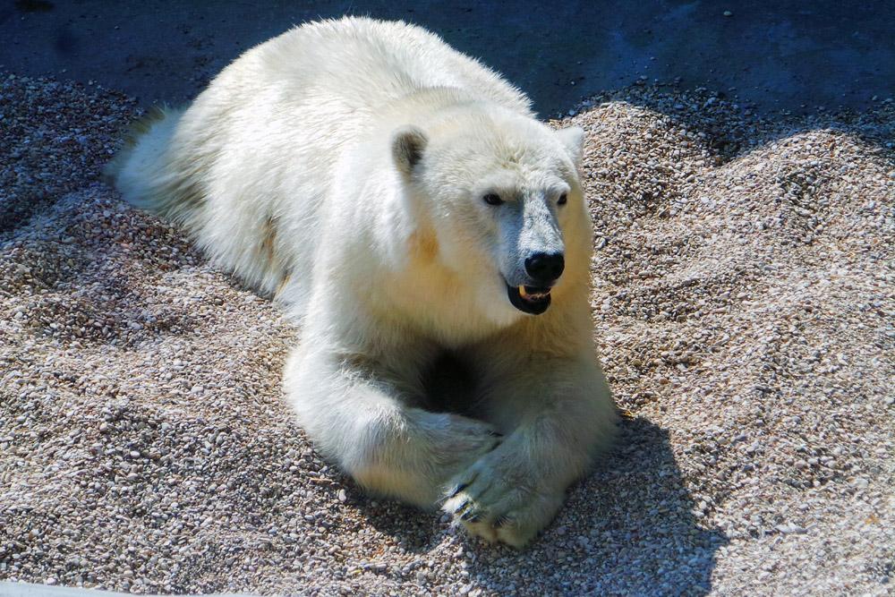 Белая медведица из Якутии по имени Томпа в Московском зоопарке