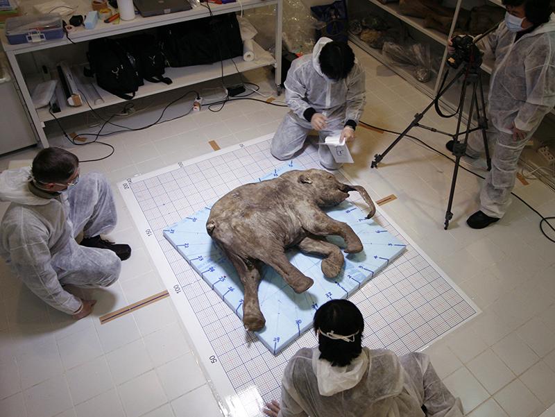 Тело замерзшего мамонтенка