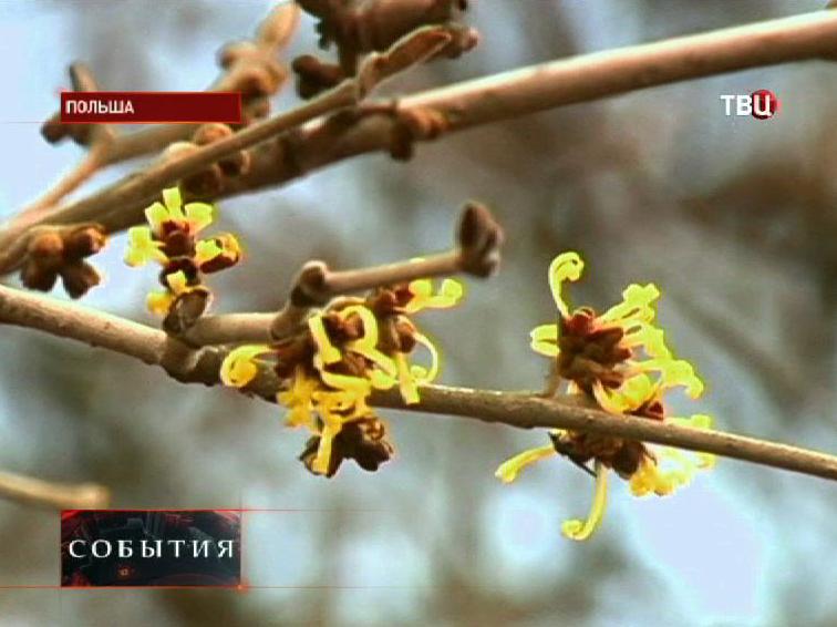 В Польше распускаются деревья