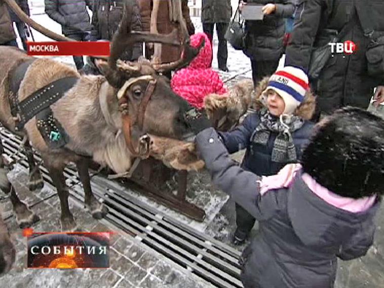На фестиваль северных народов привезли оленей
