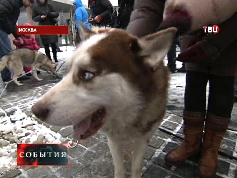 На фестиваль северных народов привезли собачьи упряжки