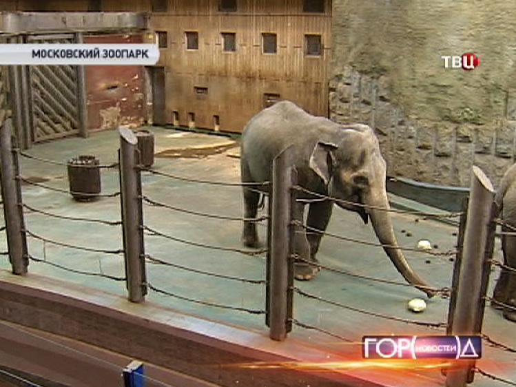 Слоны в вольере московского зоопарка