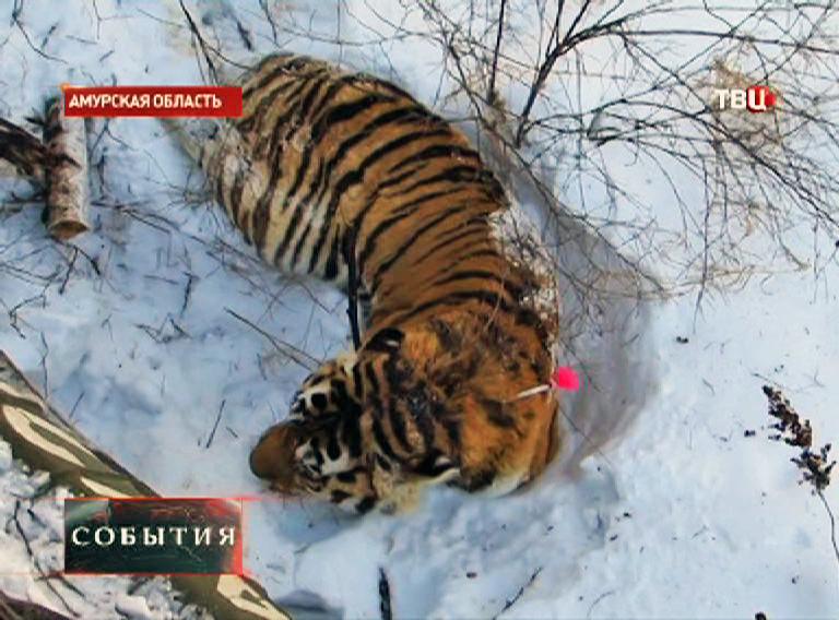 Раненый тигр