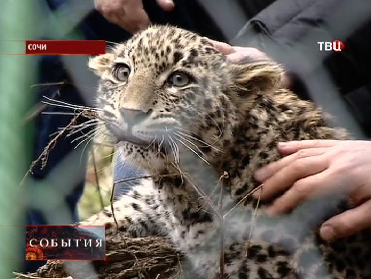 Центр разведения леопарда в Сочи
