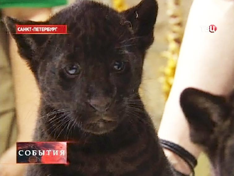 Детеныш чёрного ягуара